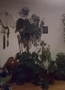 Ficus Benjamini Gelbe Blätter : pflanzenbestimmung sch dlinge und pflanzenkrankheiten sch dlinge green24 hilfe pflege ~ Watch28wear.com Haus und Dekorationen