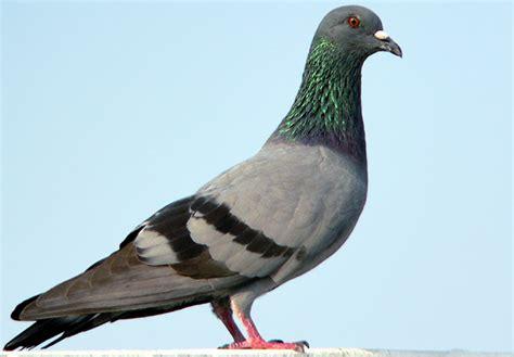 escalier mobile vs pigeon de la vrai remise en forme le