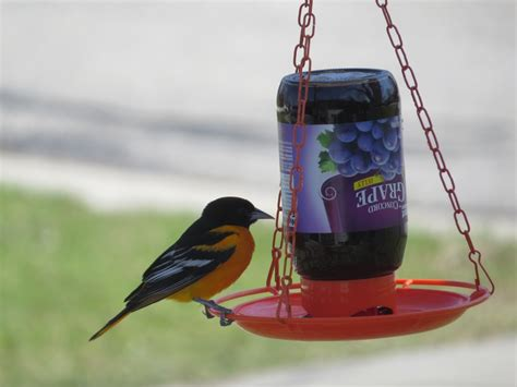baltimore oriole a boy who cried heron