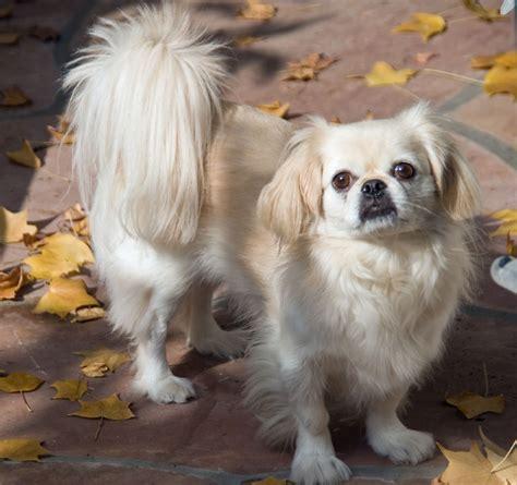 pekingese top dog breeds top dog directory