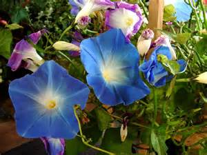 Growing Morning Glory Flowers