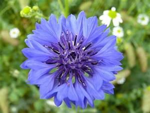 Graines Fleurs Des Champs : bleuet des champs prairie fleurie ~ Melissatoandfro.com Idées de Décoration