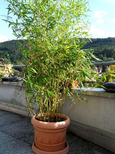 Bambus als Sichtschutz für Terasse und Balkon  Bambus und