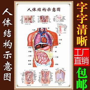 Usd 11 18  Human Visceral Anatomy System Diagram Medical