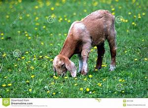 Baby Goat Eating Grass In Green Meadow Royalty Free Stock