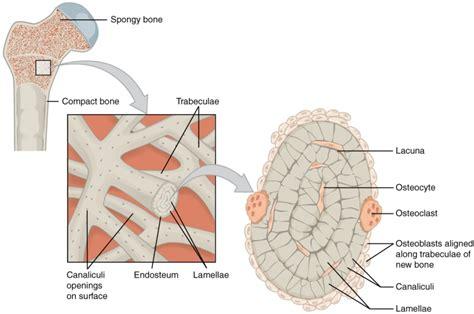 Cortical Bone And Cancellous Bone Bone And Spine