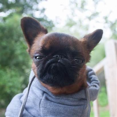 Dog Grumpy Gizmo Looks Always Dogs Judging