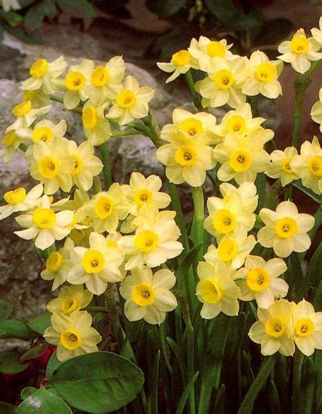 Pavasara ziedi. - Spoki - bildes 2