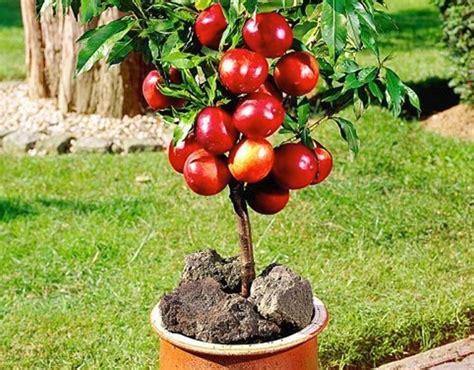 alberi da frutto in vaso coltivazione agrumi in vaso