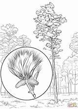Pine Coloring Tree Loblolly Pages Arkansas State Drawing Longleaf Printable Trees Getdrawings Eastern Leaves Supercoloring Categories Copy sketch template