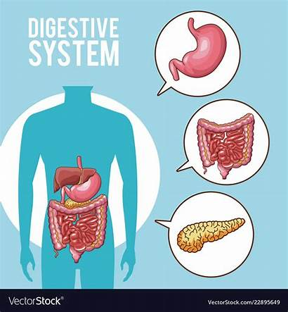 Digestive System Poster Vector Royalty