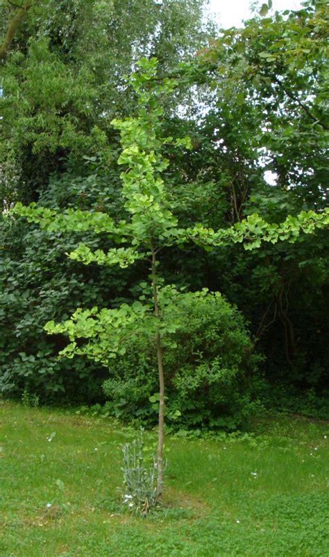 Ginkgo in den Garten | Haushaltstipps und Gartentipps