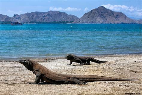 komodo island indonesia dragon