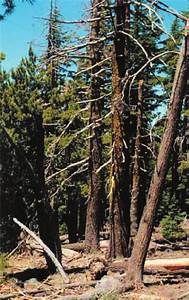 Laminated Root Rot In High Cascades Mountain Hemlock