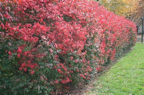 of bush burning bush