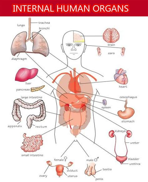 Internal Organs of Human Body and Their Functions