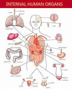 Internal Organs of Human Body and Their Functions | Health ...