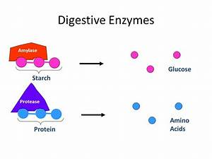 Lesson #11: Enzymes in digestion - ppt video online download