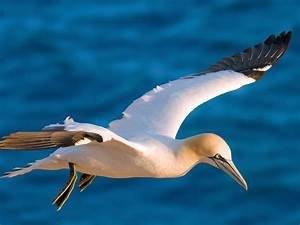 Dove Background Gannet Bird In Flight Over Blue Sea Hd Desktop Wallpaper