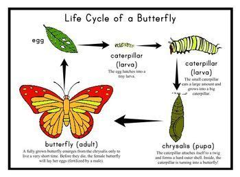 grade  life cycle   butterfly printable