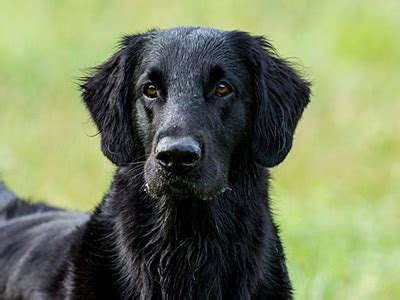 Flat Coated Retriever Molting by Flat Coated Retriever Information Characteristics