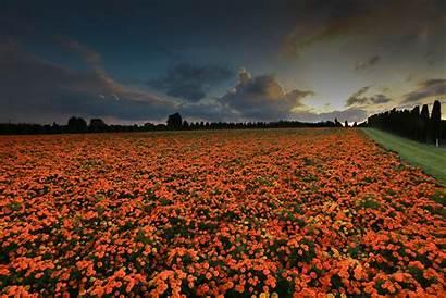 Marigold Wallpapers Backgrounds Marigolds Field Alphacoders