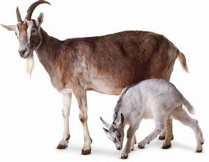 Goat Facts For Kids | What Are Goats? | DK Find Out
