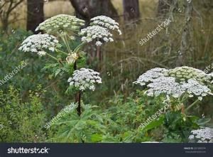 Giant Hogweed (Heracleum Mantegazzianum), Phototoxic Plant ...