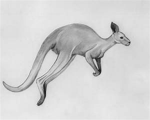 Kangaroo Drawing | www.imgkid.com - The Image Kid Has It!