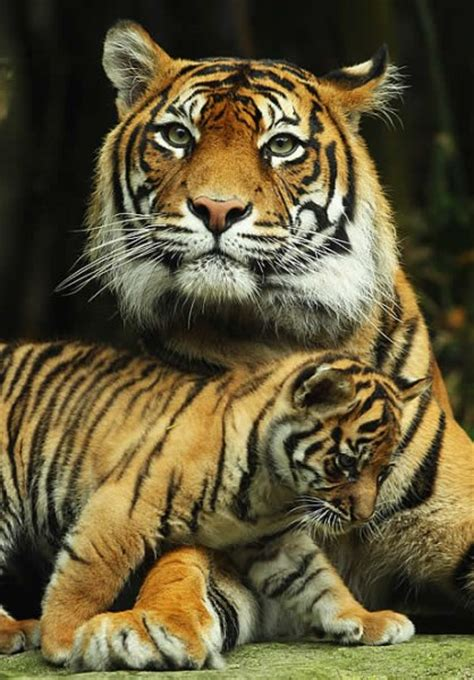 tiger cubs zoo cub baby sydney born babies australia mother generally australian three tigers sumatran taronga welcomes litters consist four