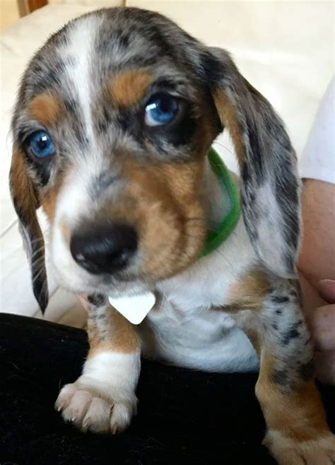 cute dog puppies  blue eyes fallinpets