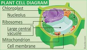 11 Easy Rules Of Plant Cell Labeled
