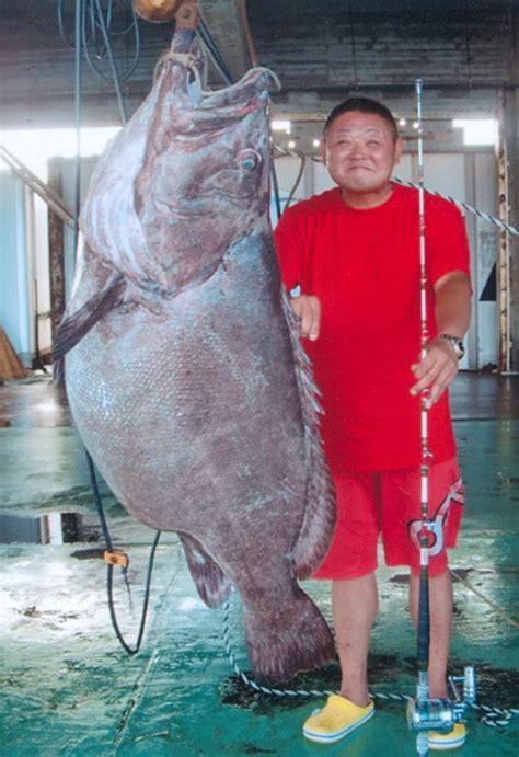 goliath biggest ever grouper pound groupers recorded potato