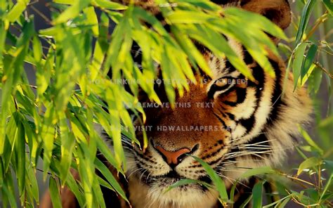 Beautiful Tiger Nature The Animals #bv4u