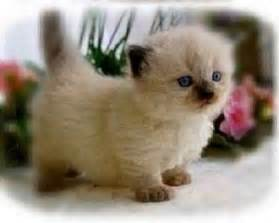 munchkin cat for adoption 17 best ideas about munchkin kittens for on