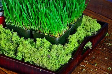 succulent grass how to make a wheatgrass and succulent winter tabletop