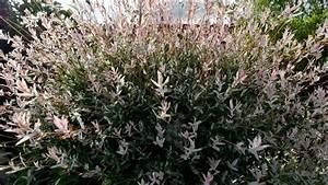 Quand Tailler Un Saule Crevette : jardin le saule crevette cultiver au jardin ou en pot ~ Melissatoandfro.com Idées de Décoration