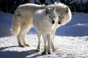 Male and Female Arctic Wolf