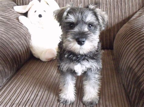 25+ Best Ideas About Schnauzer Grooming On Pinterest