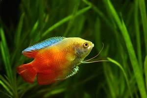 gold fish wallpaper,all fish hd wallpaper,beautiful fish ...