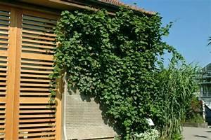 Kletterpflanzen Für Balkon : winterharte balkonpflanzen 23 lebendige vorschl ge f r den grauen winter balkon deko ~ Buech-reservation.com Haus und Dekorationen