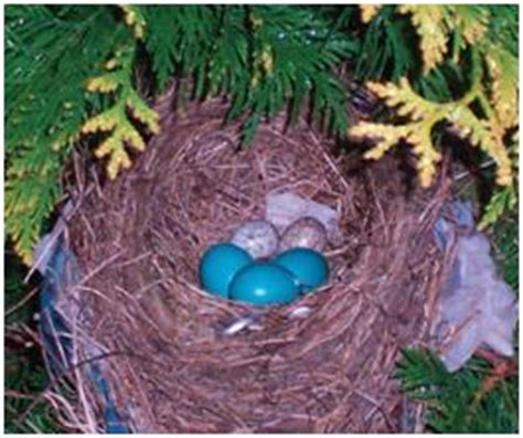 when do cardinals lay eggs will robins and cardinals a nest ask a naturalist 174