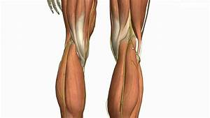 Muscles Of The Leg - Part 2