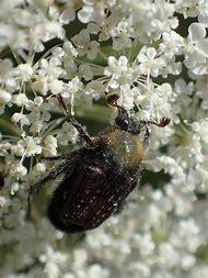 Fuzzy Scarab Beetle
