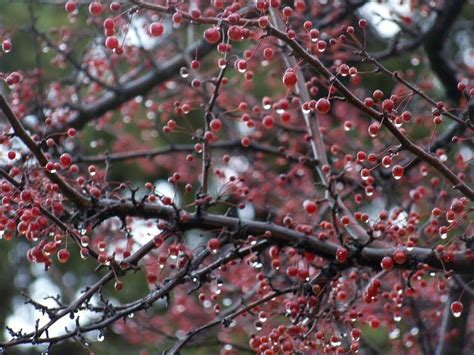 what trees berries red berry tree by madgardens on deviantart