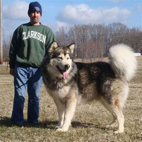 i really really like this dog giant alaskan malamute