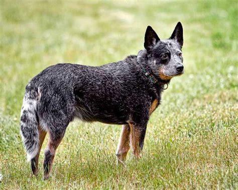 top 8 razas de perros m 225 s saludables ecoosfera