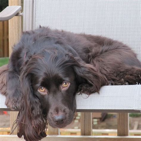 Boykin Spaniel Shed by Is There A Working That Is Non Allergenic Breeds