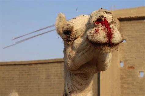 peta reveals dark truth  tourist camel rides