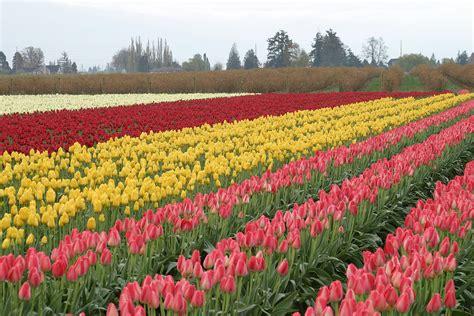 tulips festival in usa skagit valley tulip festival tulips festival all colour tulips hits all